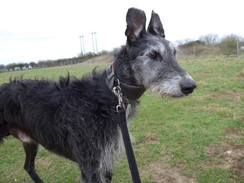 Abandoned lurcher Gerald at Margaret Green