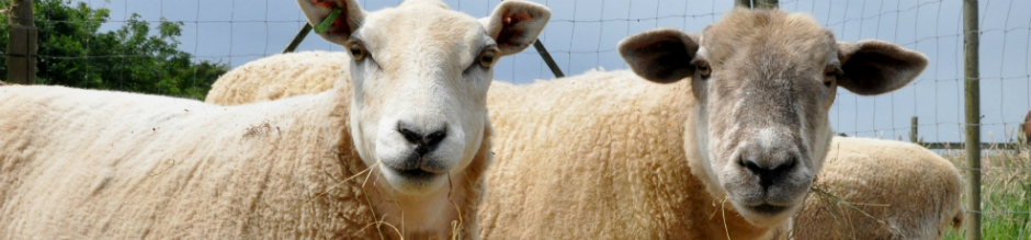 web banner sheep